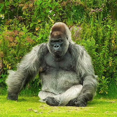 How much would a gorilla bench press?
